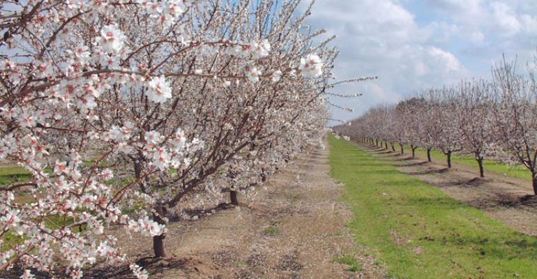 pohon almond